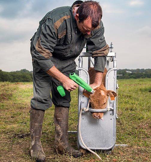 Dehorning in organic farming
